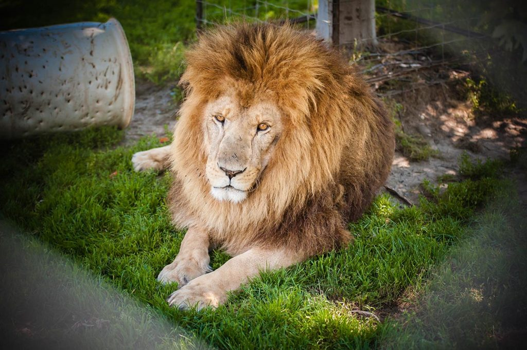 Greenview-Aviaries-Lion